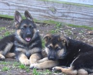 German Shepherd breeders Near me