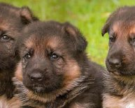 German Shepherd Dog breeders in Texas
