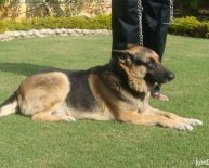 German Shepherd Dog breeders UK