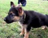 German Shepherd female name
