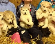 German Shepherd Husky mix puppies