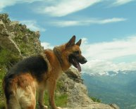 German Shepherd Mountain Dog