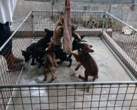 German Shepherd puppies Breeder