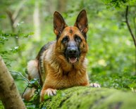 GSD dogs photos