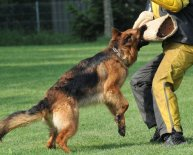 How to Training a German Shepherd Dog?