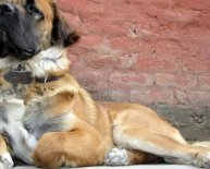 Indian Alsatian Dog