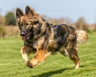 Long haired German Shepherd Dogs