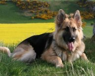 Pics of Alsatian dogs