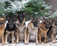 Pictures of German Shepherd dogs