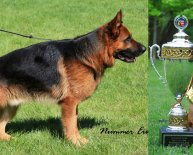 Purebred German Shepherds For sale