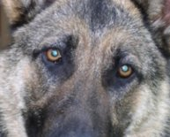 Retired German Shepherd police dogs for adoption
