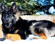 Short haired black German Shepherd