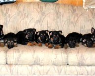 Texas German Shepherd puppies
