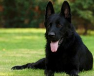 What is a German Shepherd Lifespan?