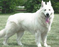 White Alsatian Dogs for sale