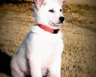White American German Shepherd