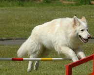 White German Shepherd size