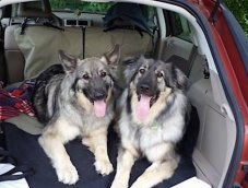 Two large American Alsatian dogs laying down in the back hatch of a red SUV