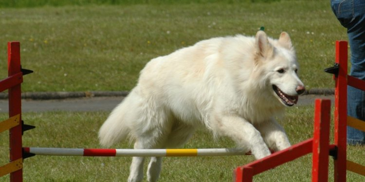 White German Shepherd training