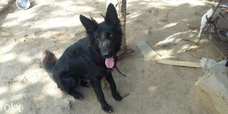 Black German Shepherd Female