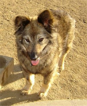 Sacchetto the Coydog is standing in dirt in front of a concrete step. Her mouth is open and there is dirt on her nose
