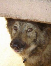 Sacchetto the Coydog is walking under a concrete bar. A little bit of her tongue is showing